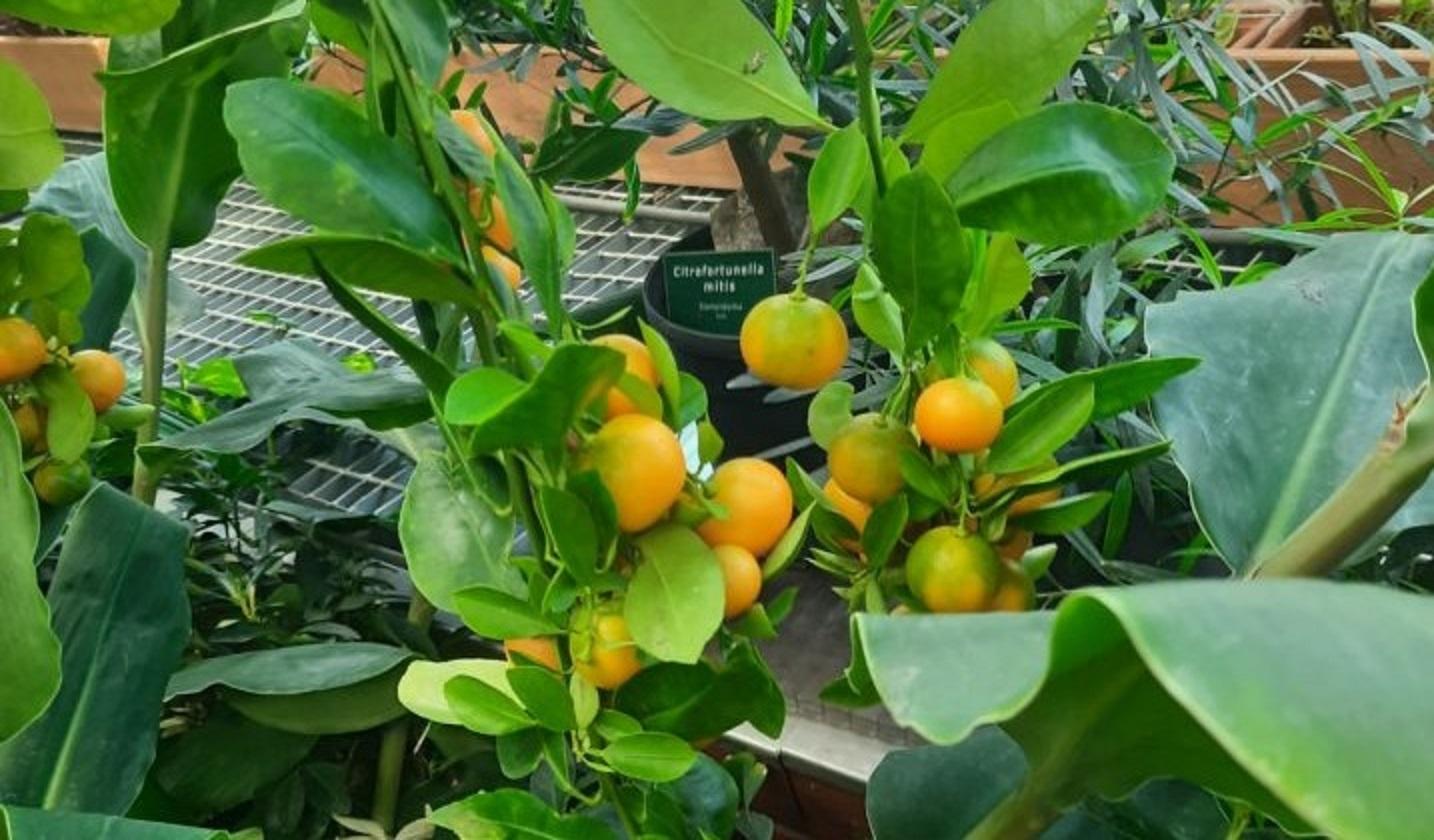Owoce cytrusowe w Palmiarni