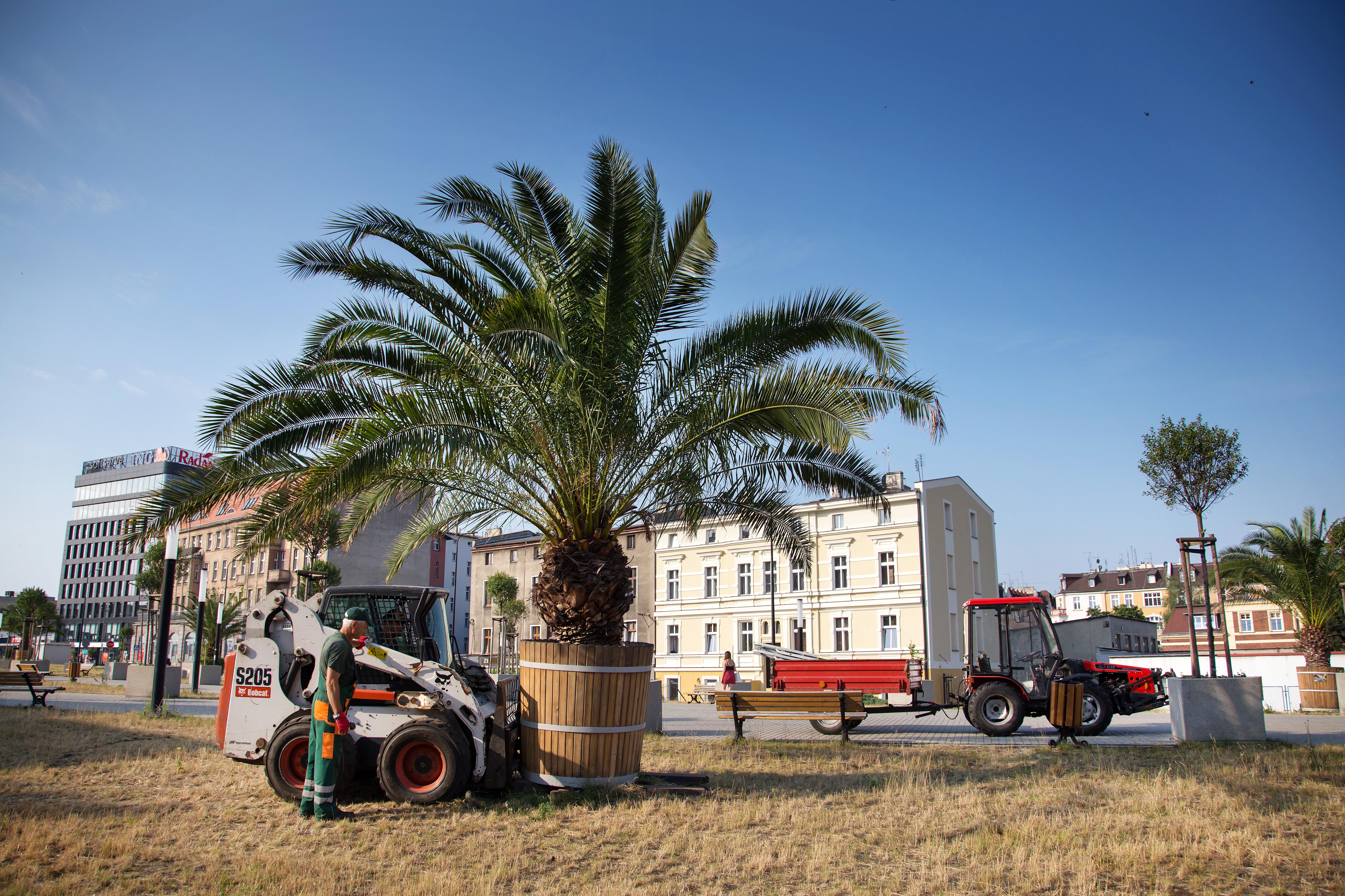 przenoszenie gliwickeij palmy