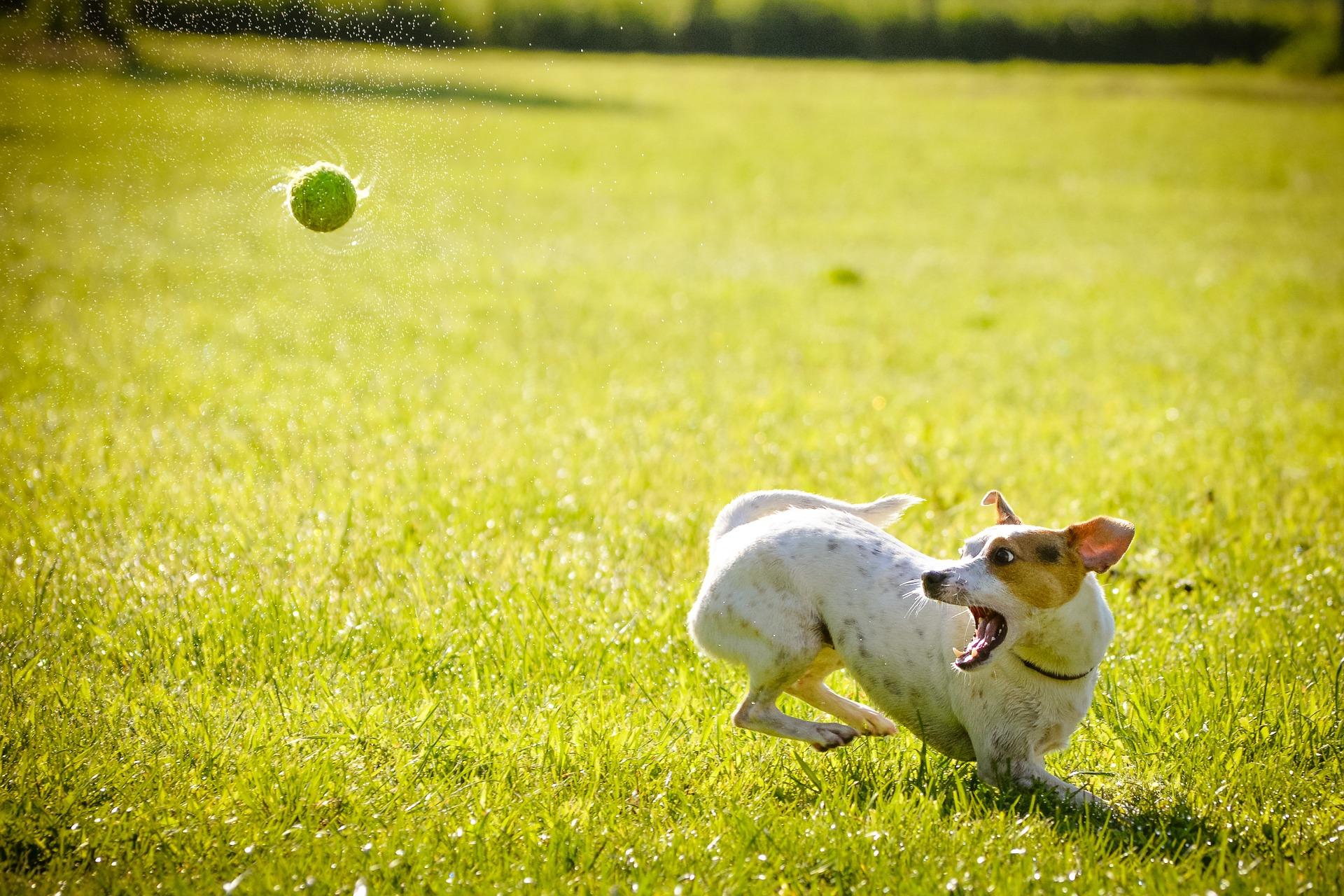 pies biegnący za piłką