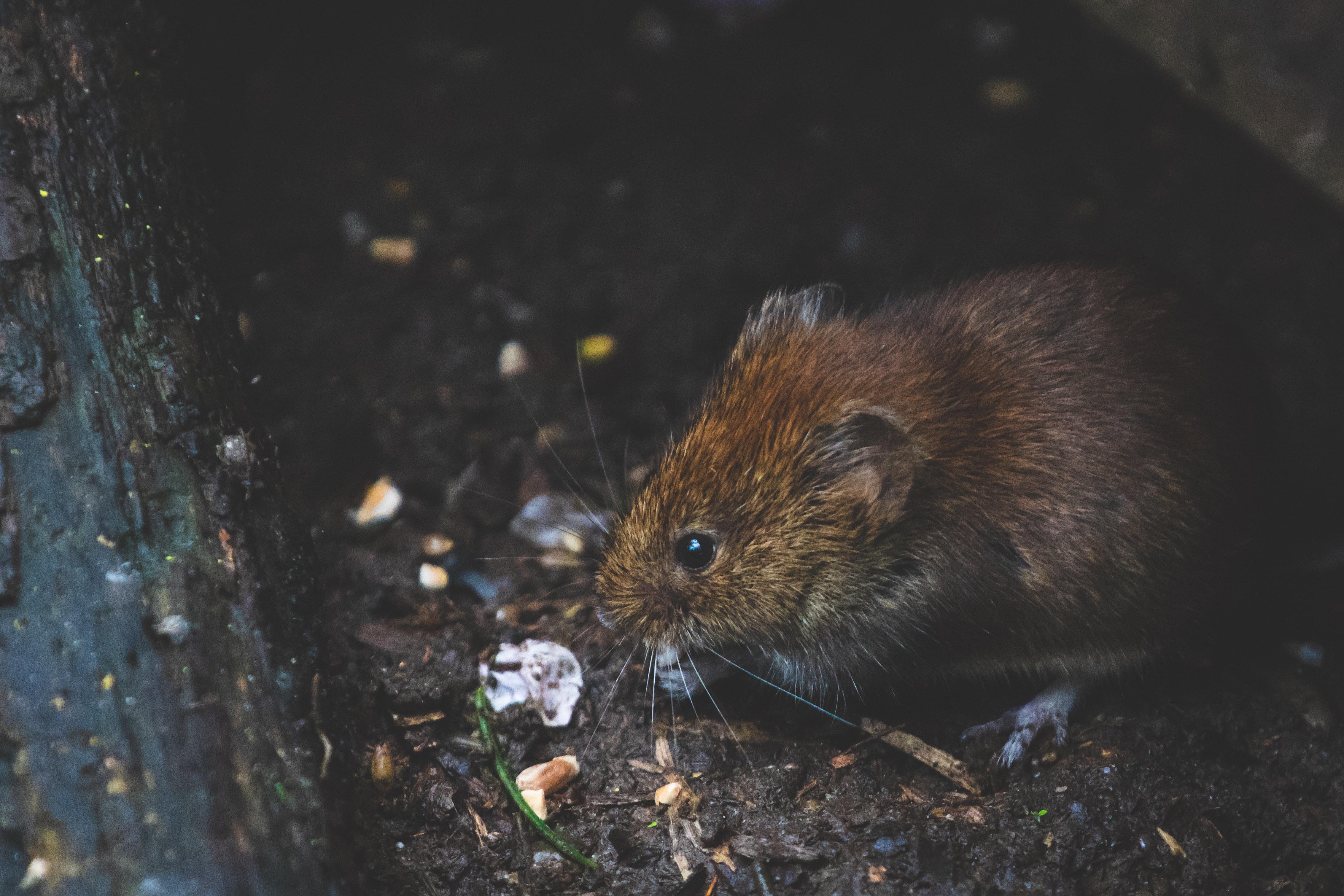 żywy szczur